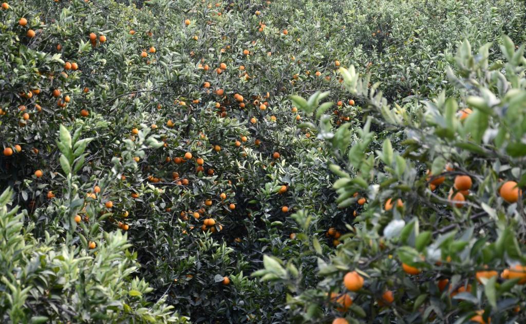 Аланья, январь. Апельсиновые рощи