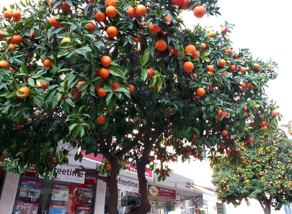 Аланья, январь. В городе тоже полно апельсиновых деревьев