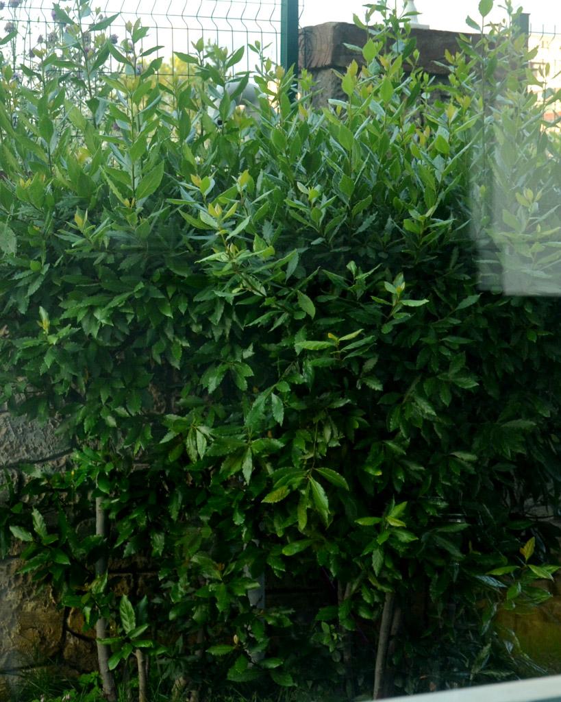 Растение лавровый лист